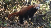 Darjeeling zoo to release four captive-bred red pandas into the wild