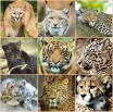 The sad story of our majestic big cats around the planet!